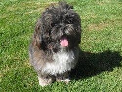 Bounty, chien Lhassa Apso