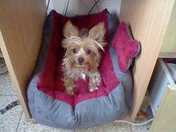 Ramses, chien Yorkshire Terrier