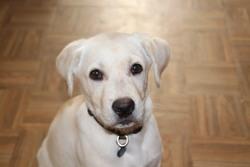 Marlex, chien Labrador Retriever