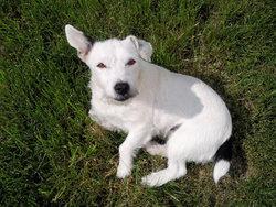 Twisty, chien Jack Russell Terrier
