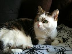 Ariane, chat Européen