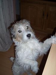 Titou, chien Parson Russell Terrier