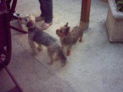 Lilou, chien Yorkshire Terrier