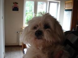 Flocon, chien Bichon maltais