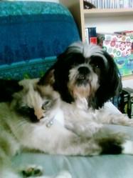 Petronille, chien Shih Tzu
