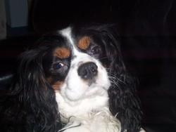 Charlie , chien Cavalier King Charles Spaniel