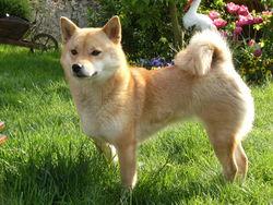 Bluebell, chien Shiba Inu