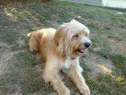 Oscar, chien Grand Griffon vendéen