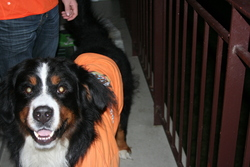 Aron, chien Bouvier bernois