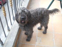 Golfo, chien Berger catalan