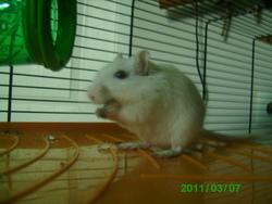 Blanco, rongeur Gerbille