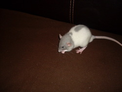 Anatole, rongeur Rat