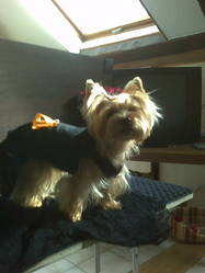 Victoria, chien Yorkshire Terrier