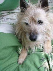Roy, chien Cairn Terrier