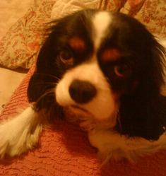 Denver, chien Cavalier King Charles Spaniel