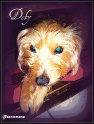 Doby, chien Griffon à poil dur Korthals