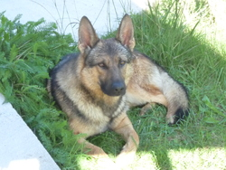 Lycan, chien Berger allemand