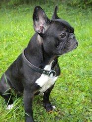 Ronnie, chien Bouledogue français