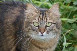 Dingote, chat Gouttière