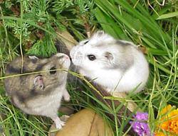 Groseille Et Nouni, rongeur Hamster