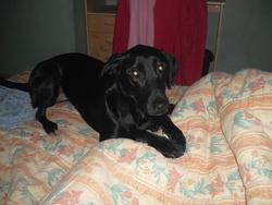 Dolly, chien Labrador Retriever