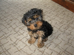 Spike, chien Yorkshire Terrier