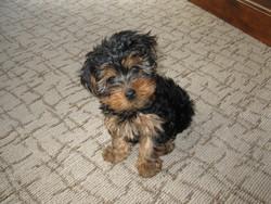 Spike, chien Yorkshire Terrier