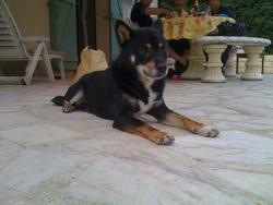 Chay'rou, chien Shiba Inu