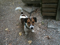 Maax , chien Jack Russell Terrier