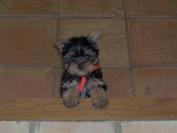 Thaïs, chien Yorkshire Terrier