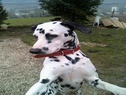 Brooklyn, chien Dalmatien