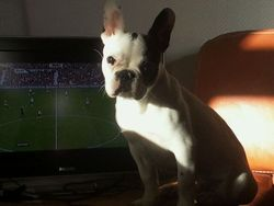 Pokpok, chien Bouledogue français