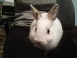 Edelweisse, rongeur Lapin