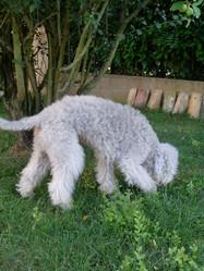 Xabo, chien Bedlington Terrier