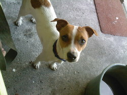 Dino, chien Jack Russell Terrier