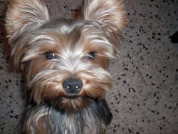 Droupi, chien Yorkshire Terrier