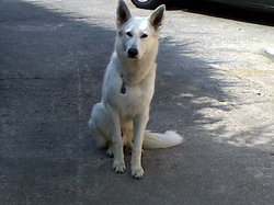Eros, chien Berger blanc suisse