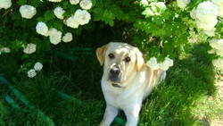 Cristo, chien Labrador Retriever