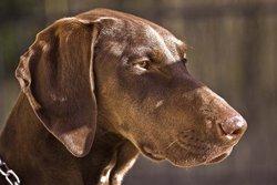Douchka, chien Braque allemand à poil court