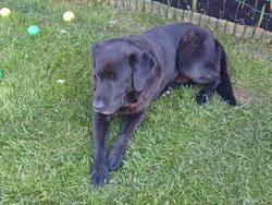 Pongo, chien Labrador Retriever