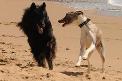 Forrest, chien Lévrier écossais