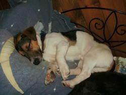 Fétard, chien Jack Russell Terrier