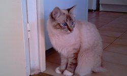 Dee Dee, chat Birman