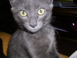 Alvin, chat Européen