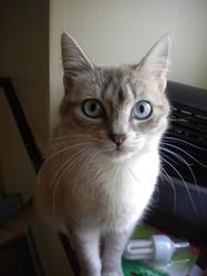 Choukett', chat Siamois