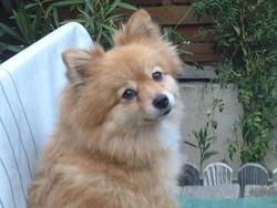 Caline, chien Spitz allemand