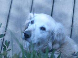 Ortance, chien Golden Retriever