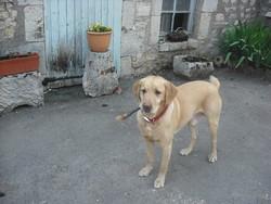 Djibril, chien Labrador Retriever