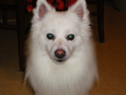 Bingo, chien Spitz japonais