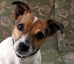 Tekila, chien Jack Russell Terrier